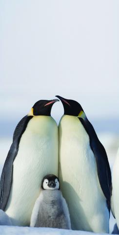 Penguin Family Themed Custom Cornhole Board Design