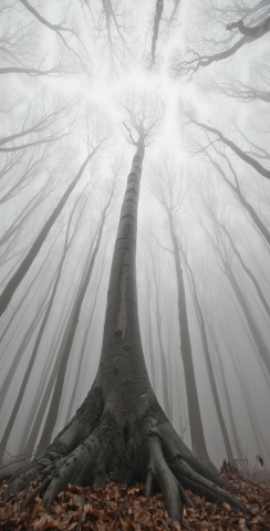 Trees in a Foggy Forest