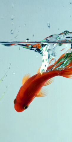 Goldfish In Bowl Themed Custom Cornhole Board Design